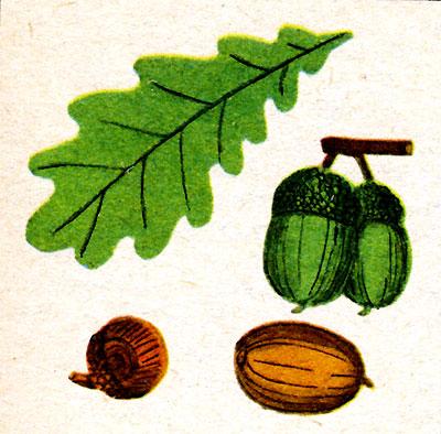 Желуди (рис. 3)