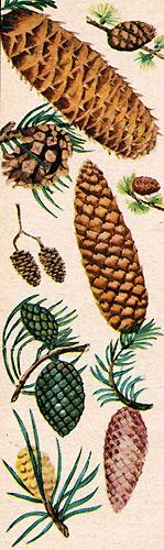 Шишки (рис. 1)
