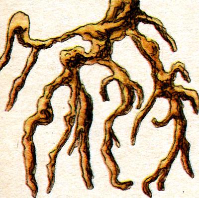 Корни (рис. 7)