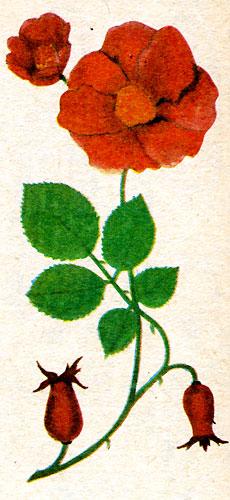 Шиповник, рябина (рис. 9)