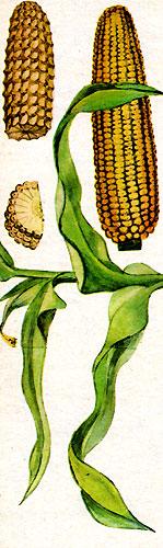 Кукурузные початки (рис. 11)