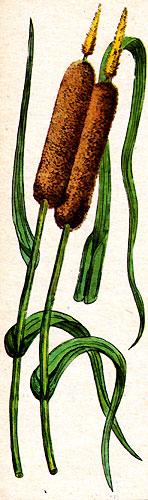 Рогоз (рис. 12)