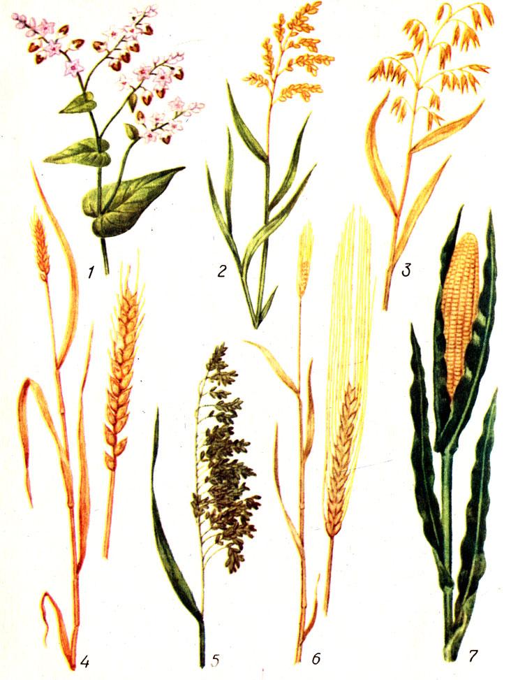 Таблица 2. Злаковые культуры и виды круп, получаемых из них: 1 - гречиха (крупа гречневая: ядрица, продельная, смоленская), 2 - рис (шлифованный, полированный, дробленый), 3 - овес (крупа овсяная: недробленая, плющенная - 'Геркулес'), 4 - пшеница (крупа: манная, полтавская, 'Артек'; макаронные изделия), 5 - просо (пшено: дранец, шлифованное, дробленое), 6 - ячмень (крупа: перловая, ячневая), 7 - кукуруза (крупа кукурузная; хлопья кукурузные)